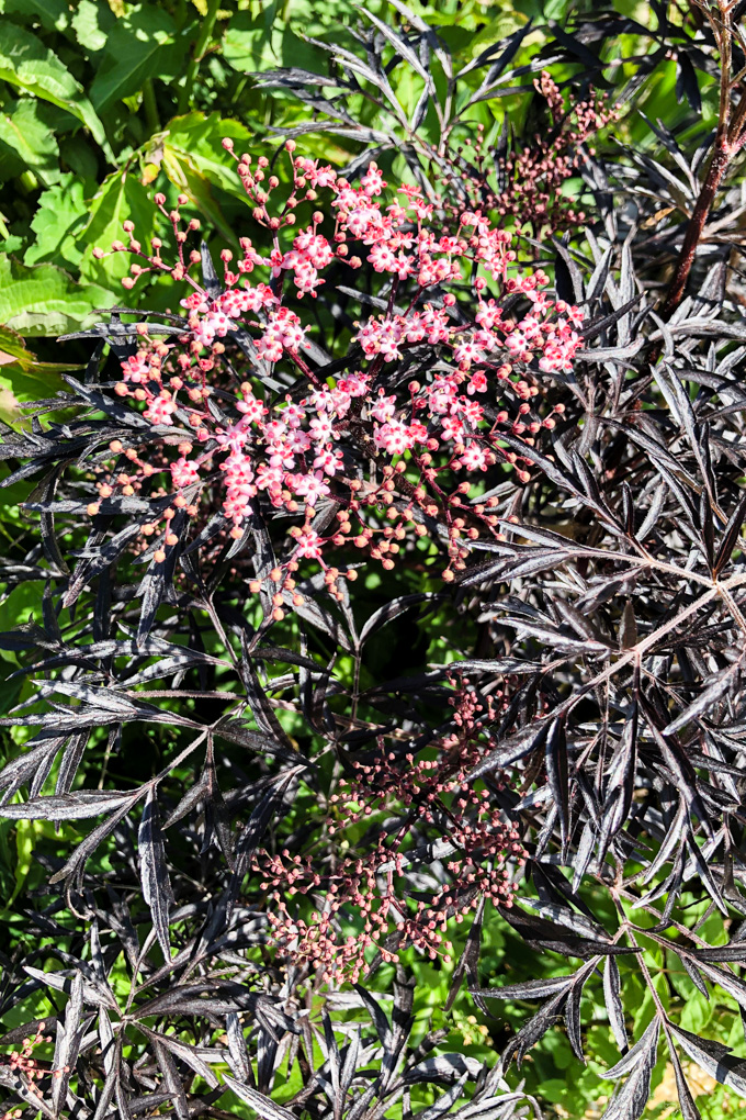 A head of blush pink elderflowers with dark reddish green pointed leaves.