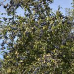 Sloe Gin – Patience is a Deliciously Rewarded Virtue