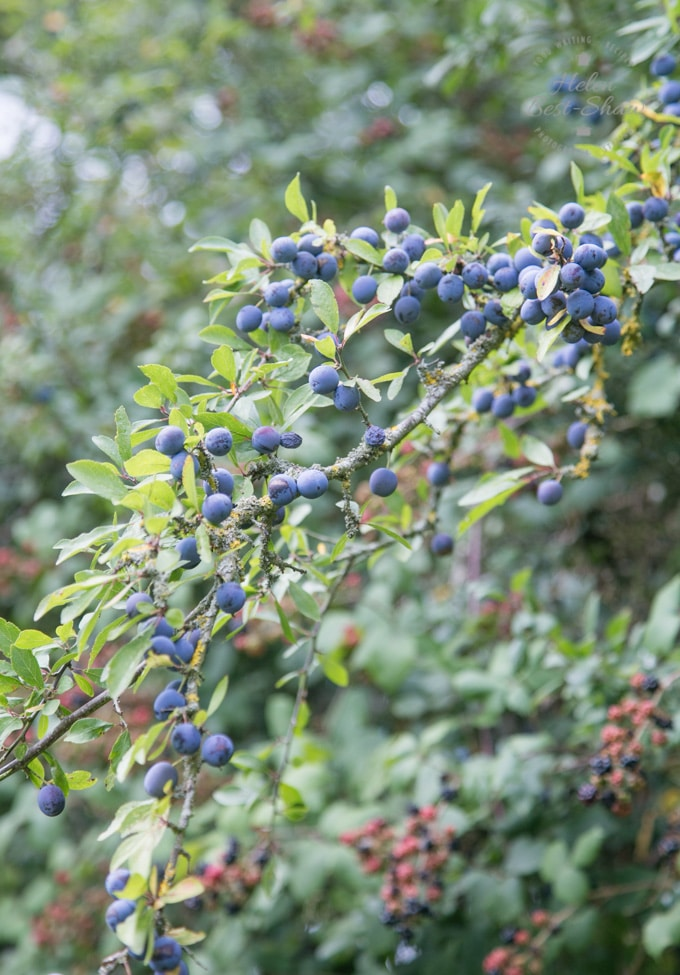 A branch of purple sloe berries growing in the hedge with a ripe blackberries growing in the background