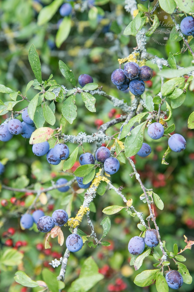 A close up shot of a branch laden with small purple sloes for making sloe gin