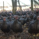 Kelly Bronze Turkeys in the Woods
