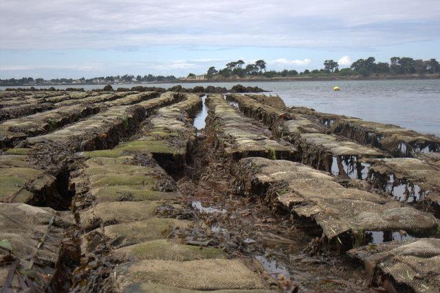 Farmed Oyster Racks Golfe du Morbihan