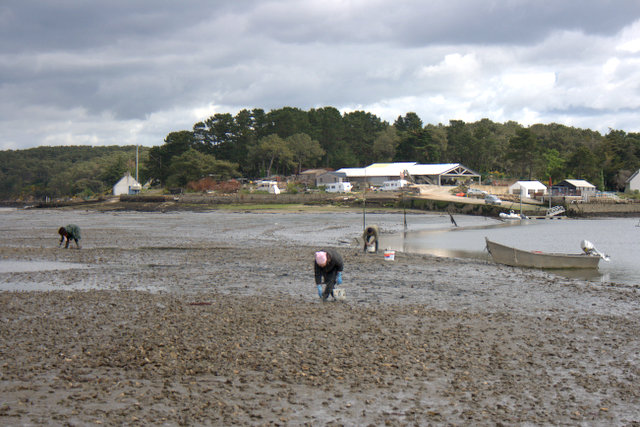 Harvesting Wild Oysters in the Golfe du Morbihan