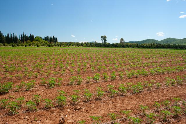 Cirio True Italian Tuscany Tomato Field