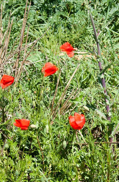 Wild flowers grow at the sides of the fields