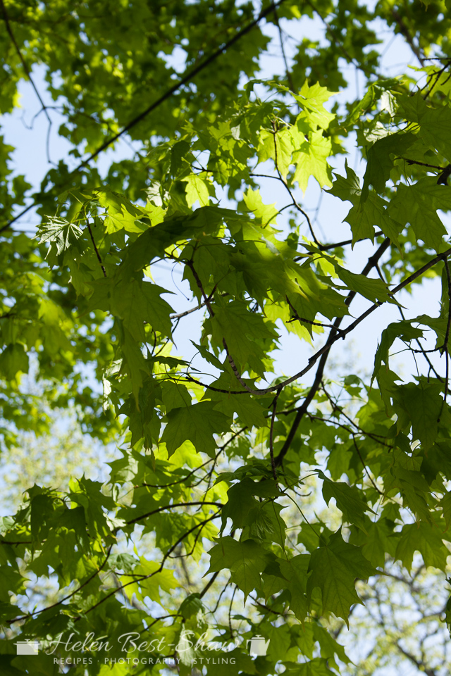 New Brunswick, Fredericton, Spring Maple Leaves