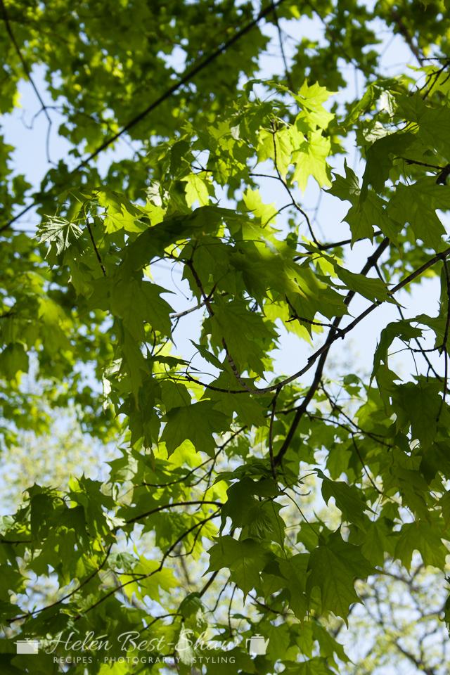 New Brunswick, Fredericton, Spring Maple Leaves