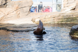 Sea lion at Nausicaa