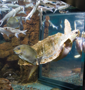 Turtle at Nausicaa National Sealife Centre