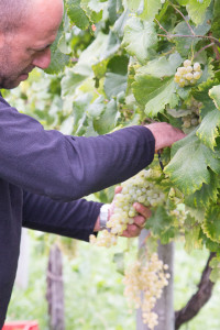 The story behind Prosecco Superiore CV DOCG- harvesting the grapes