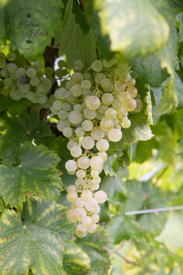 The story behind Prosecco Superiore CV DOCG - The Glera Grape