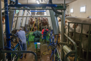 The milking shed in action: the first stage of making Comte
