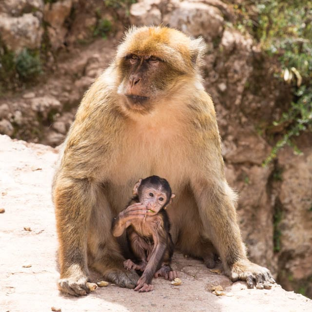 Mother and baby Monkey Ouzoud Falls Morocco