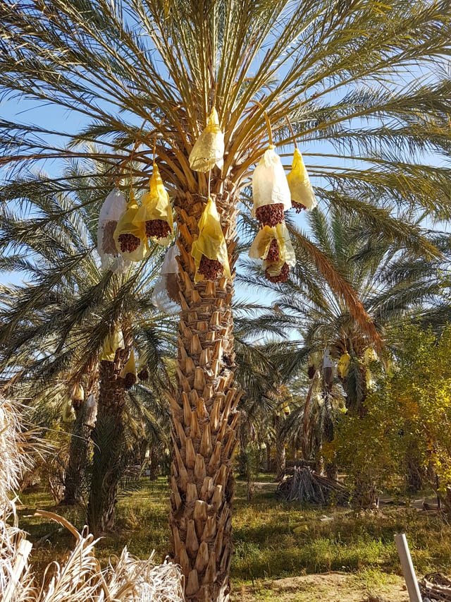 A visit to the International Festival of Dates in Kebili