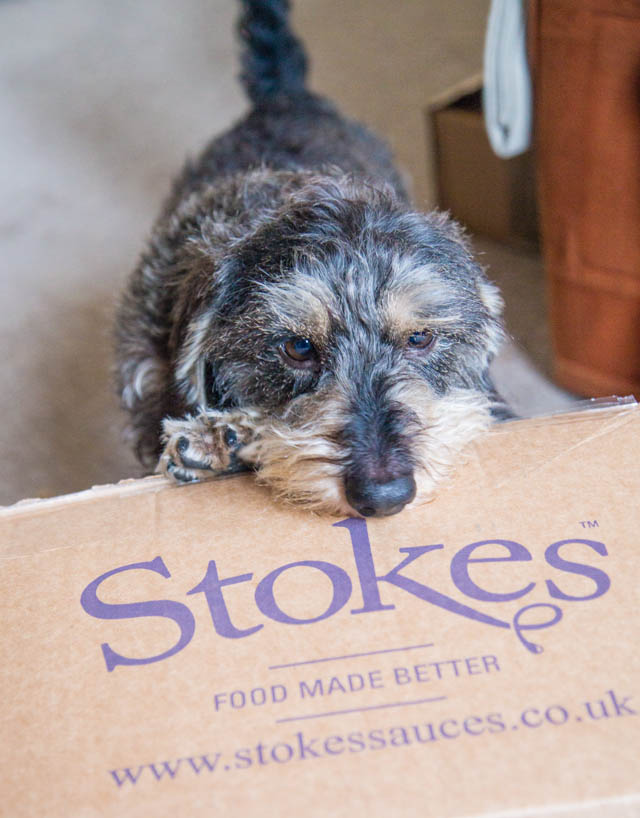 Herbert the minature wire haired dachshund chewing a large cardboard box