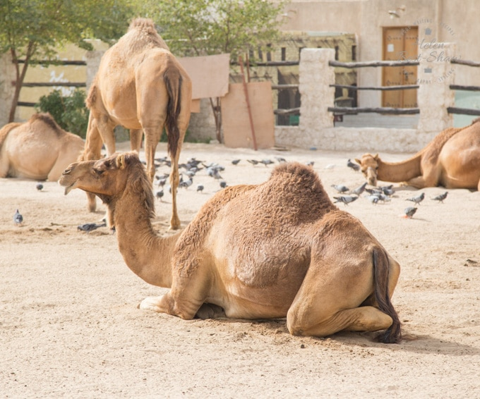 A camel lying down in a pen in Doha