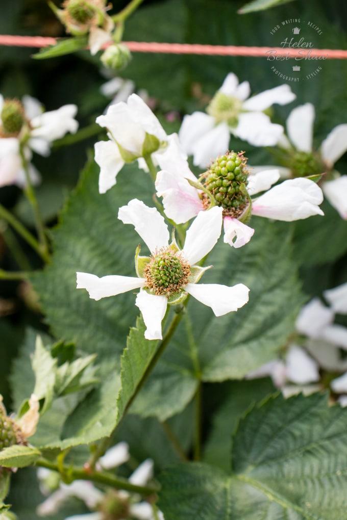 Driscolls Sweet Victoria Blackberry Farm - blackberry blossom