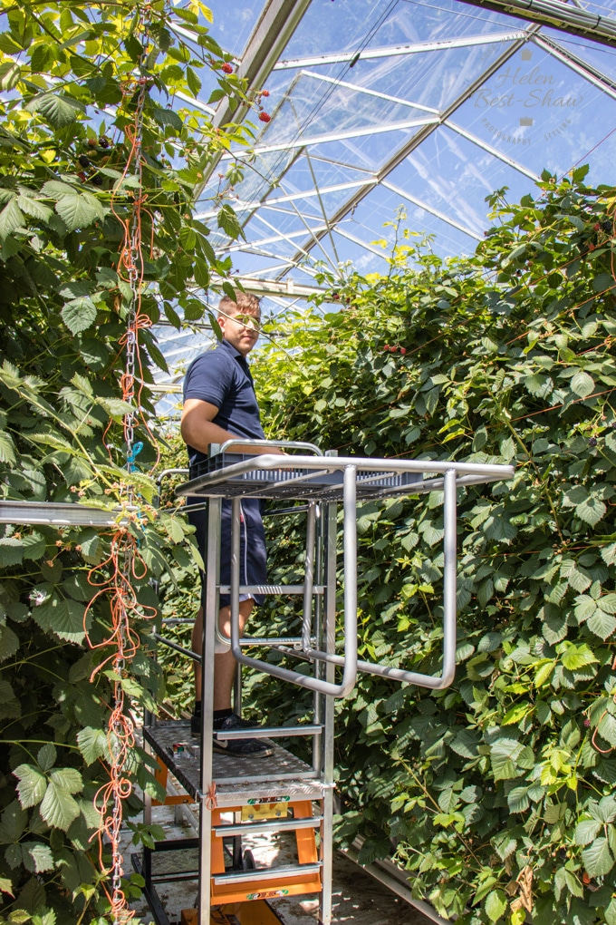 A staff member on a motorized elevated cart picking strawberries. He's between two lines of plants
