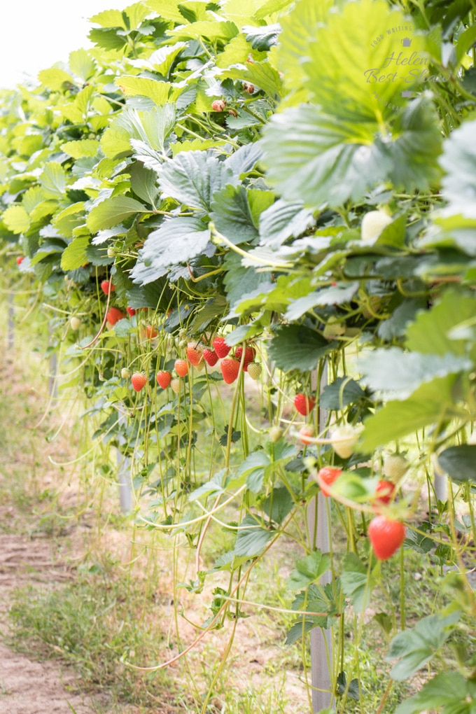 A line of eleveated strawberry plants with ripe strawberries hanging beneath the leafy plants.