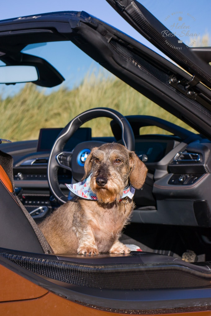 Herbert the wire-haired dachshund sitting in the open door of the BMW i8 roadster.