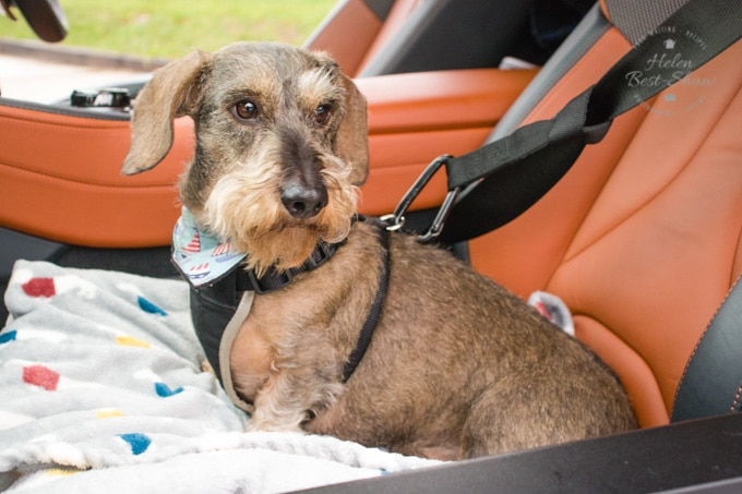 A picture of Herbert the wire-haired dachshund in the passenger seat of BMW i8 Roadster. He's wearing a harness and is tethered to the seatbelt.