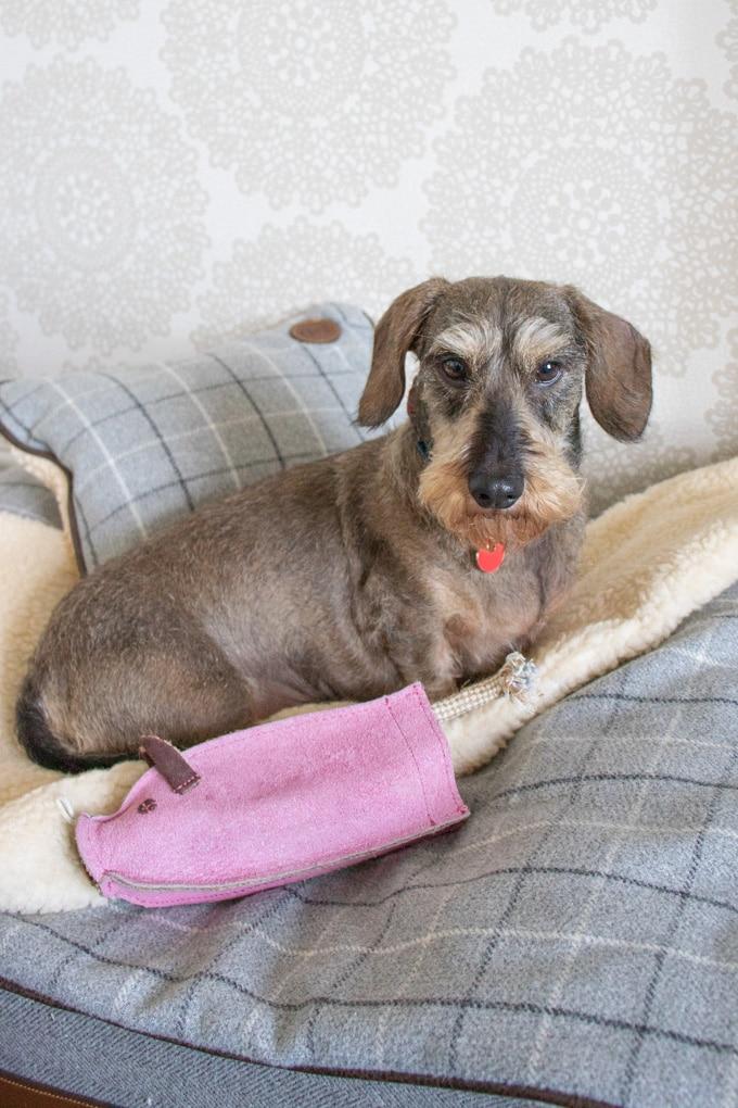 Herbert the daschund in bed