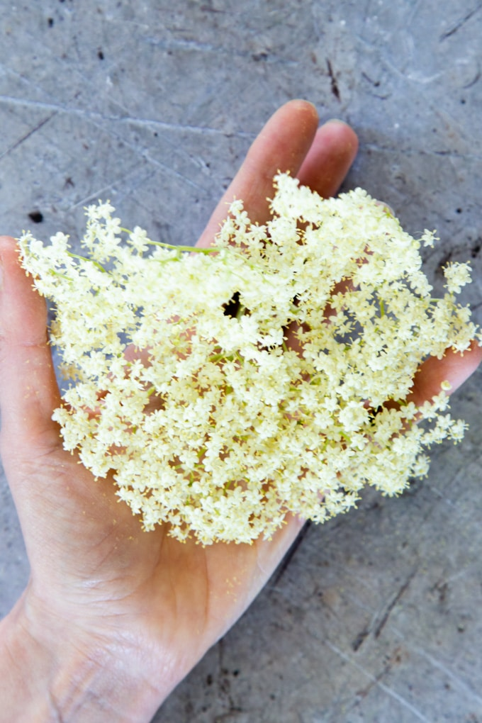 Showing the size of a good-sized elder flower head - about hand sized.