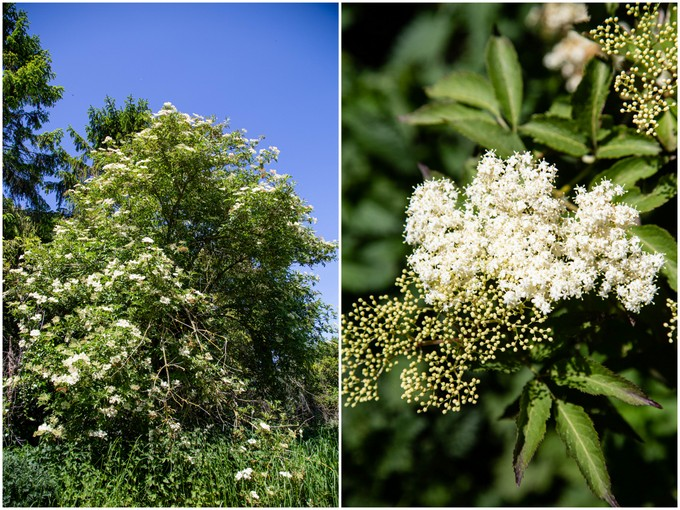 A elder tree covered in flowers, and a close up of a flower head.