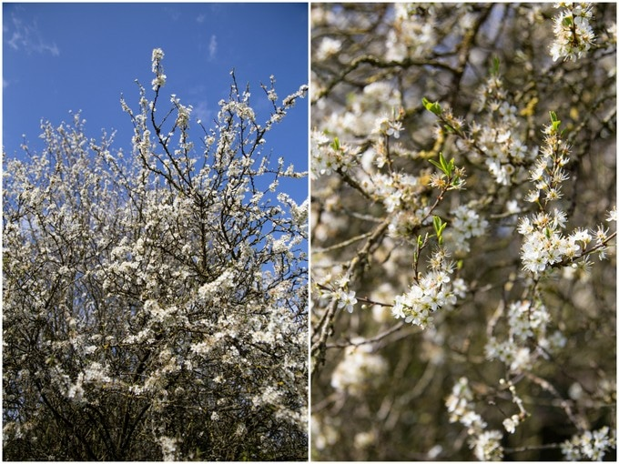 A collage of two pictures of a blackthorn tree, showing white blossom.